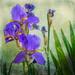 My favourite Iris
