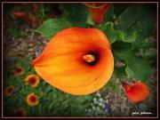 4th Dec 2020 - Orange Arum Lily..