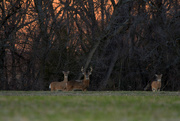 30th Nov 2020 - A Buck and Two Doe