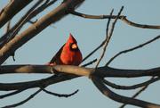28th Nov 2020 - A Cardinal in My Tree