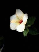5th Dec 2020 - Hibiscus at the Botanical Gardens