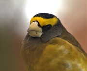 5th Dec 2020 - Evening Grosbeak