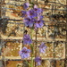 exceptionally late delphinium