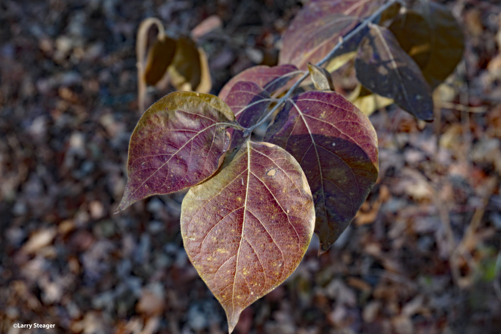 Fall leaves by larrysphotos