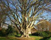 7th Dec 2020 - beech tree