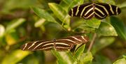 6th Dec 2020 - Zebra Longwing Butterflys!