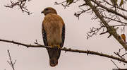 6th Dec 2020 - Red Shouldered Hawk!