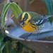 Curious Townsend Warbler by nicoleweg