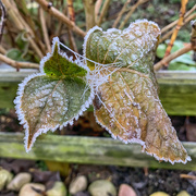 7th Dec 2020 - Frosty leaves