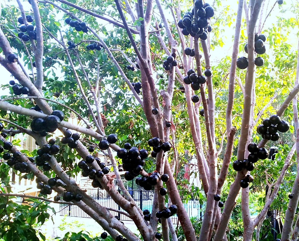 This is a Jaboticaba Berry Tree by 777margo