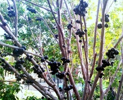 7th Dec 2020 - This is a Jaboticaba Berry Tree
