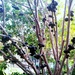 This is a Jaboticaba Berry Tree