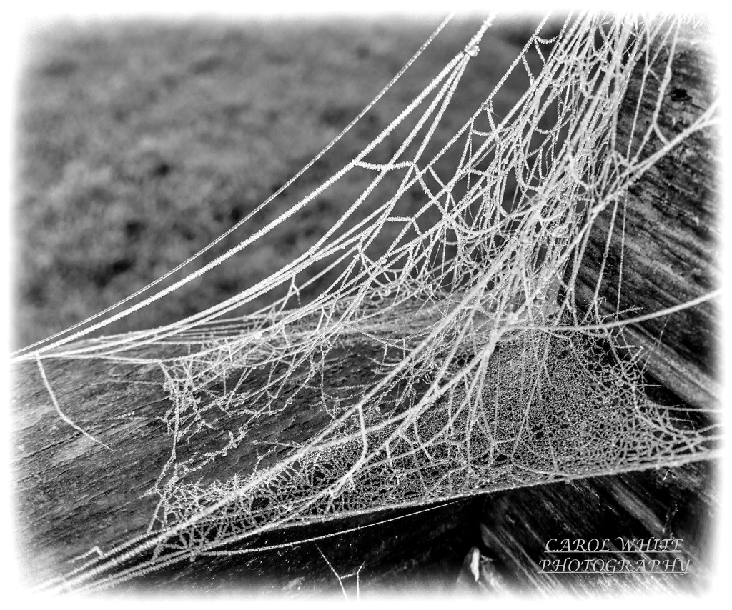 Oh,What A Tangled Web We Weave(best on black) by carolmw