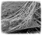 7th Dec 2020 - Oh,What A Tangled Web We Weave(best on black)