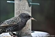 7th Dec 2020 - Mr Starling