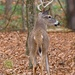 LHG-6231-Buck in the woods  by rontu