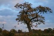 8th Dec 2020 - Oak tree