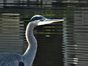 4th Dec 2020 - Heron at Mirror Pond