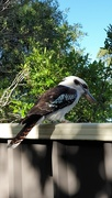 6th Dec 2020 - Laughing Kookaburra