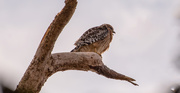 7th Dec 2020 - Red Shouldered Hawk in the Vulture Tree!