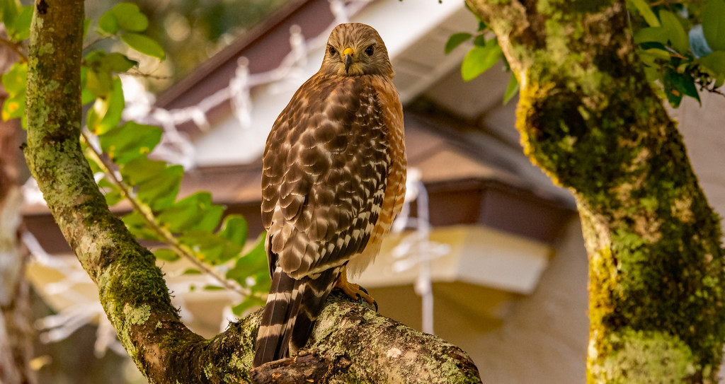 Today was Red Shouldered Hawk Day! by rickster549
