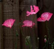8th Dec 2020 - Four poppies