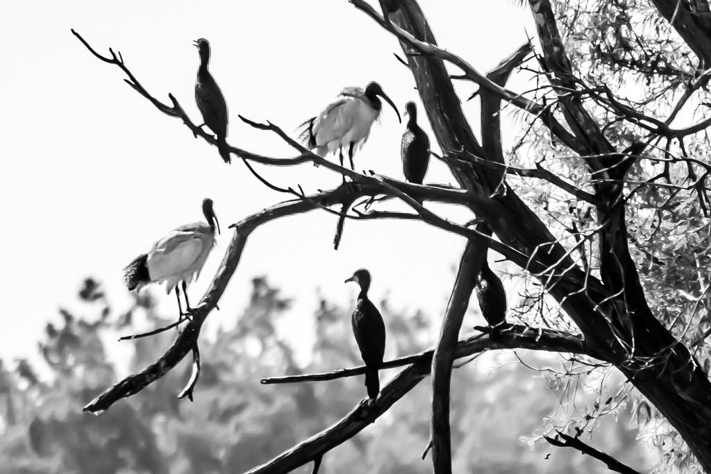 Ibis and black cormorants by sugarmuser