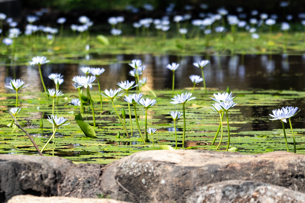 Lillies of the lake by sugarmuser