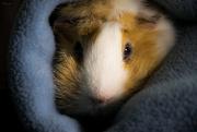 7th Dec 2020 - Merry the guinea pig