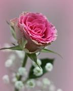 8th Dec 2020 - Rose