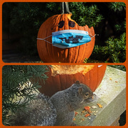30th Oct 2020 - Baby Nibbles on Mask-o-Lantern
