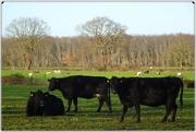 9th Dec 2020 - black cattle