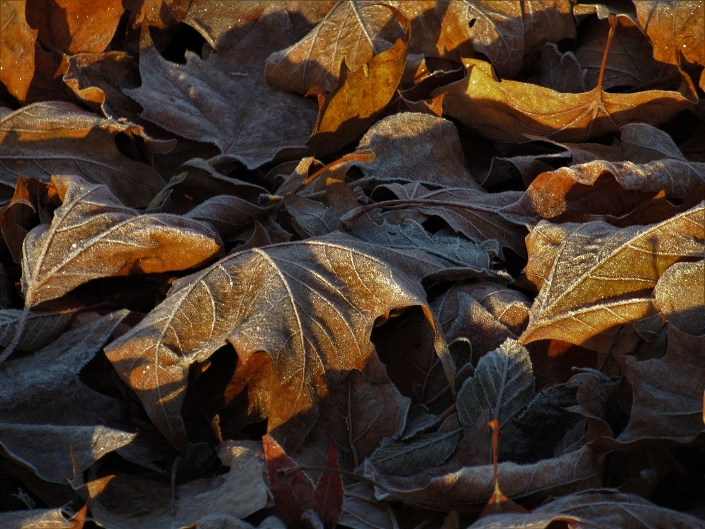 Frosty Leaves in the Morning by granagringa