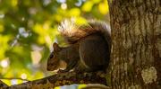 8th Dec 2020 - Grey Squirrel Getting Warmed Up!