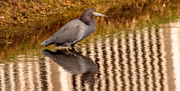 8th Dec 2020 - Little Blue Heron, Scavaging for Food!