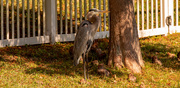 8th Dec 2020 - Blue Heron in the Shade!