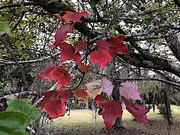 9th Dec 2020 - Swamp maple leaves:  our most colorful tree n Autumn