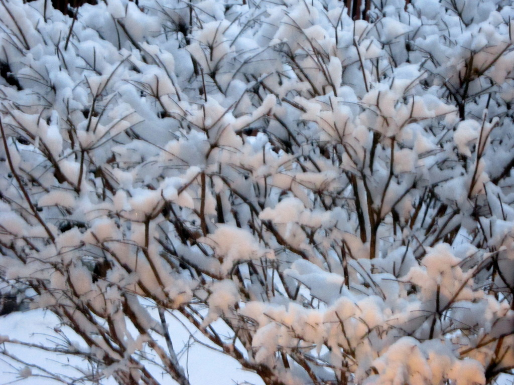 My burning bush covered in snow by bruni
