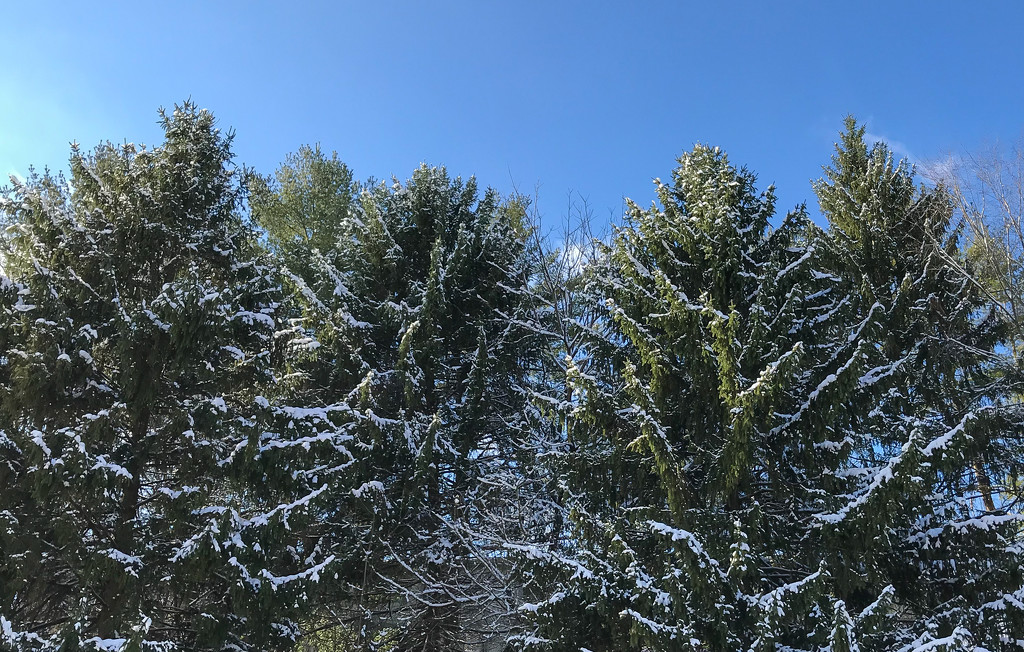 Snow on pines by mittens