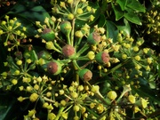 9th Dec 2020 - Ivy berries in the making