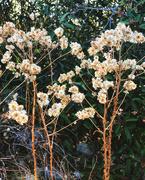 9th Dec 2020 - Dried Goldenrod
