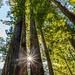 Redwood Trees by photograndma
