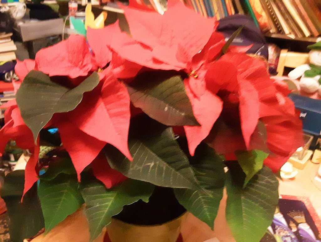 Red Poinsettia  by grace55