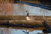 9th Dec 2020 - Solitary Goose