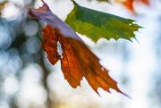 9th Dec 2020 - Leaf color...