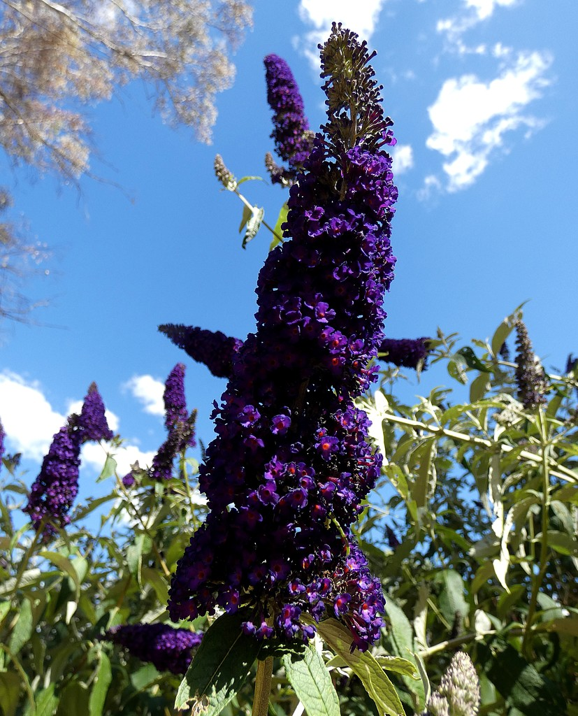 Buddleias in Bloom by mickeymusic