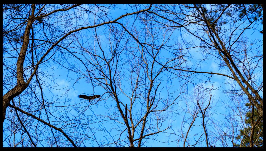 Eagle Flying High by hjbenson