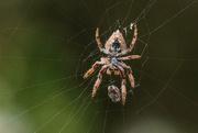 10th Dec 2020 - Under a spider with prey