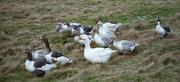 10th Dec 2020 - Farmyard Geese