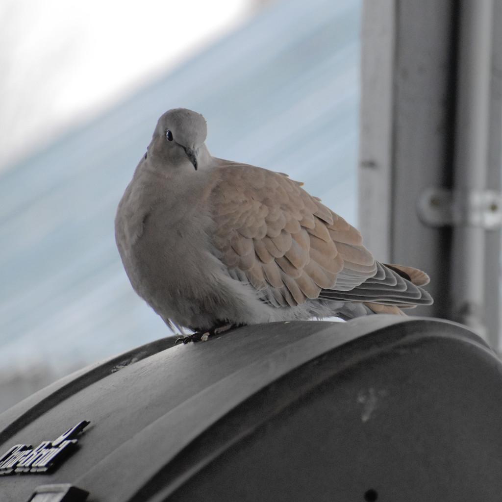Pretty Dove by bjywamer